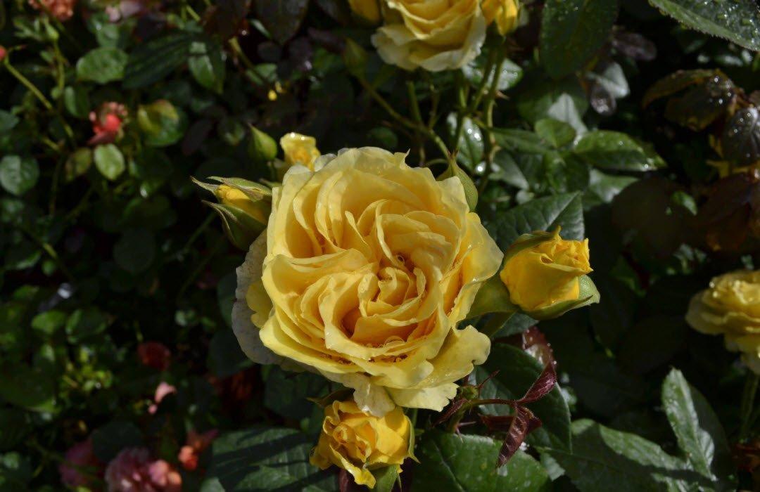 hoa hong vang 1 - Tả hoa hồng lớp 5 hay nhất - 3 bài văn miêu tả bông hoa hồng ngắn gọn