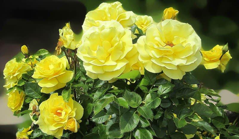 hoa hong vang - Tả bông hoa hồng lớp 2 hay nhất - 4 đoạn văn ngắn miêu tả hoa hồng