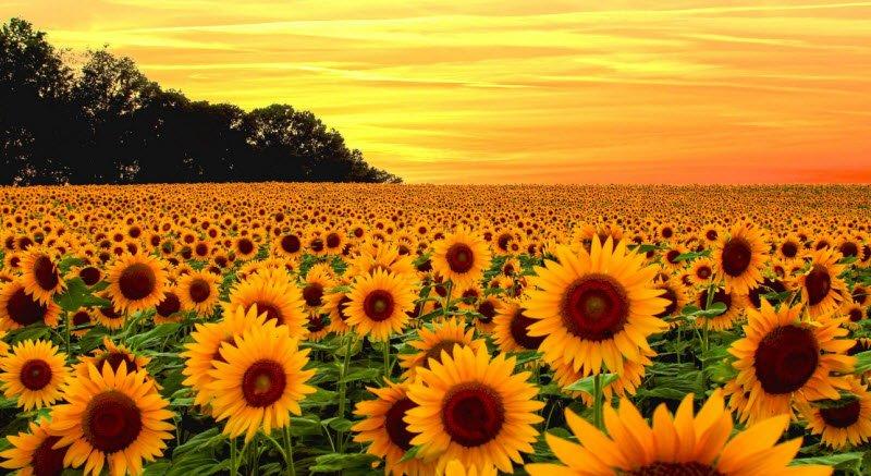 hoa huong duong 1 - Tả hoa hướng dương lớp 5 hay nhất - 3 bài văn mẫu miêu tả hoa mặt trời ngắn gọn