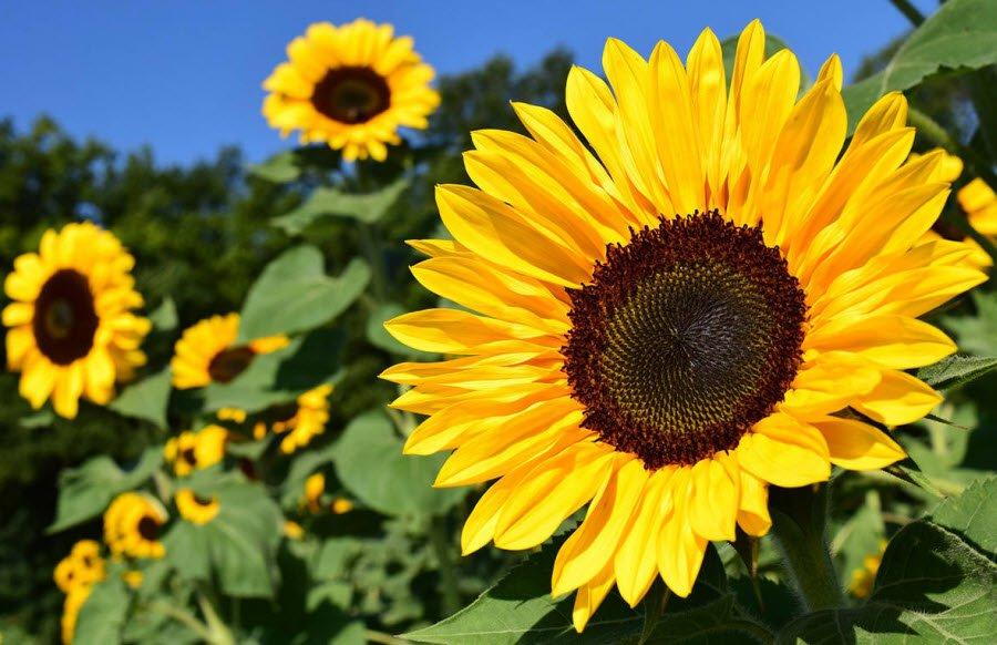 hoa huong duong dep - Tả hoa hướng dương lớp 5 hay nhất - 3 bài văn mẫu miêu tả hoa mặt trời ngắn gọn