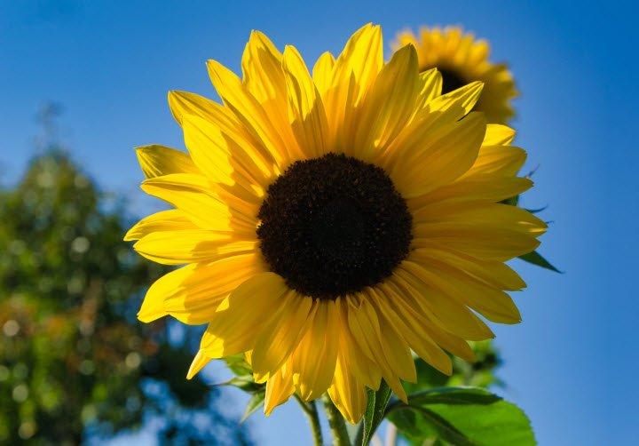 hoa huong duong - Tả hoa hướng dương lớp 4 hay nhất - 3 bài văn miêu tả hoa mặt trời ngắn gọn