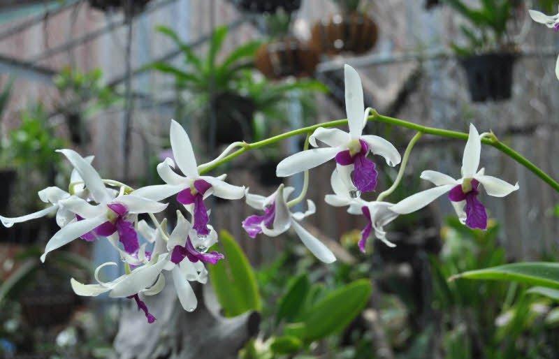 hoa lan rung - Tả hoa lan lớp 4, 5 hay nhất - 3 bài văn miêu tả hoa phong lan