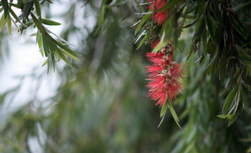 hoa lieu - Tả cây liễu hay nhất - 3 bài văn miêu tả cây hoa liêu lớp 4 5 ngắn gọn