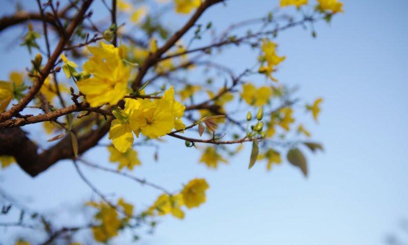 hoa mai 1 - Tả cây hoa mai lớp 4 hay nhất - 3 bài văn ngắn miêu tả hoa mai vàng ngày tết