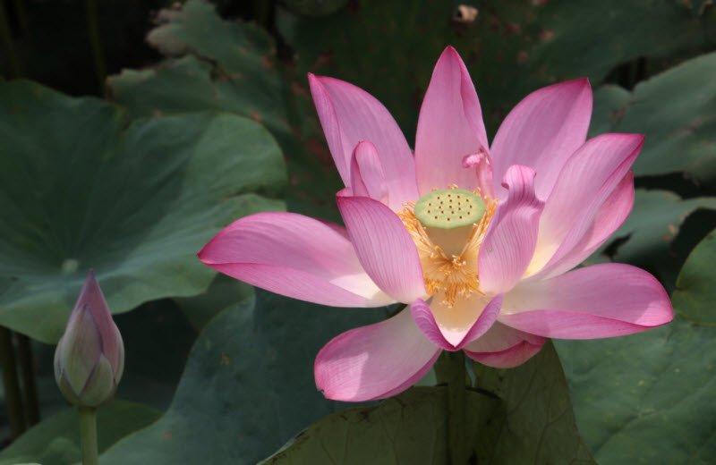 hoa sen hong - Tả hoa sen lớp 4 ngắn gọn - 3 bài văn miêu tả hoa sen trong đầm sen