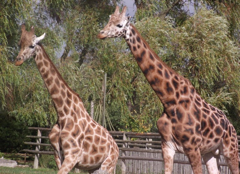 huou cao co so thu - Tả con hươu cao cổ lớp 4 hay nhất - 3 bài văn ngắn về con huơu trong vườn thú