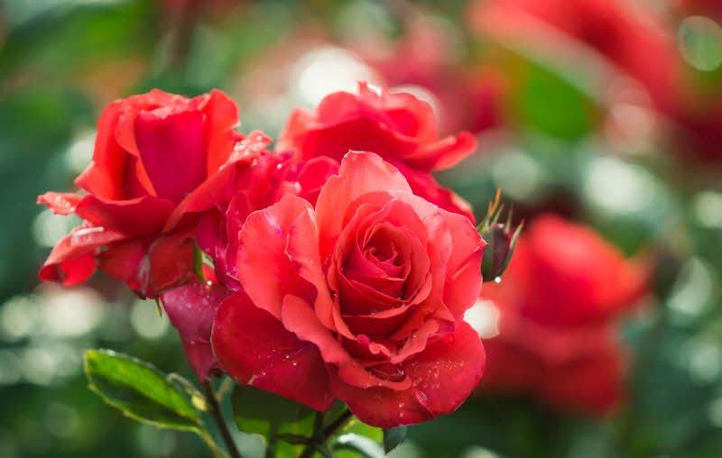 loai hoa yeu thich hoa hong - 4 đoạn văn tả một loài hoa mà em thích lớp 2, 3 ngắn gọn hay nhất