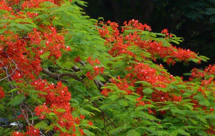 phuong vi - Tả cây phượng lớp 2 hay - 4 đoạn văn ngắn miêu tả cây phượng vĩ