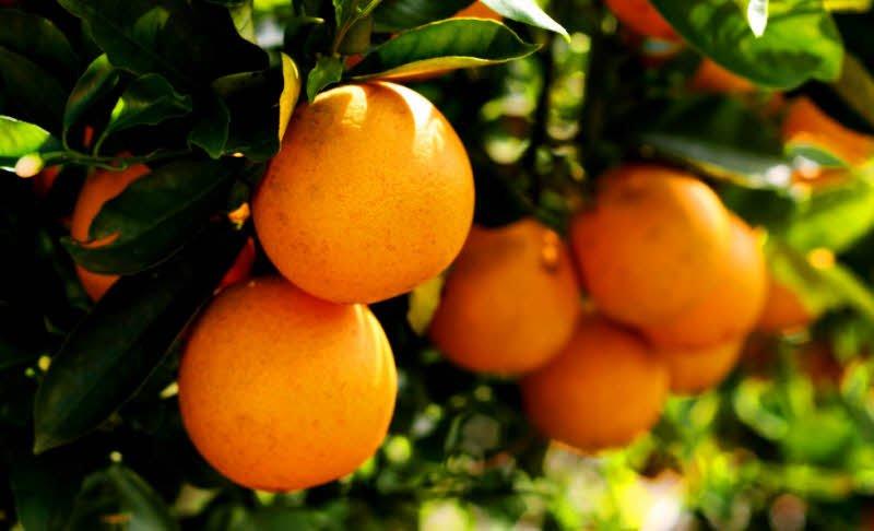 qua cam cay cam - Tả cây cam lớp 2 hay nhất - 4 đoạn văn miêu tả cây cam quả cam ngắn gọn