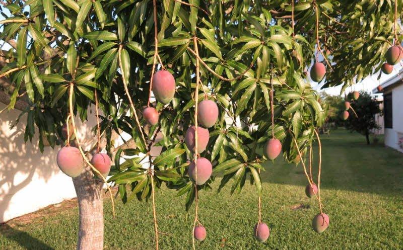 qua xoai mango - 4 đoạn văn ngắn miêu tả quả xoài lớp 2 3 hay
