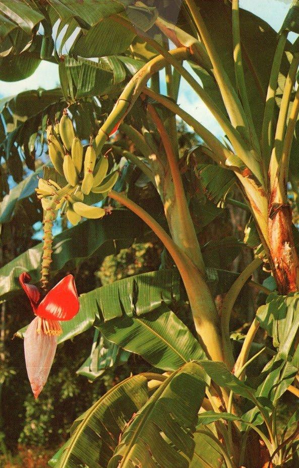 ta cay an qua ma em thich cay chuoi - Tả cây ăn quả mà em yêu thích lớp 5 hay nhất - Miêu tả cây chuối, cây bưởi, cây mít ngắn gọn