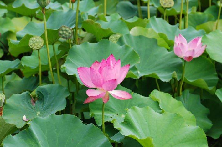ta loai ho yeu thich nhat hoa sen - Tả một loài hoa mà em thích nhất lớp 5, miêu tả hoa hồng, hoa phượng, hoa đào, hoa sen