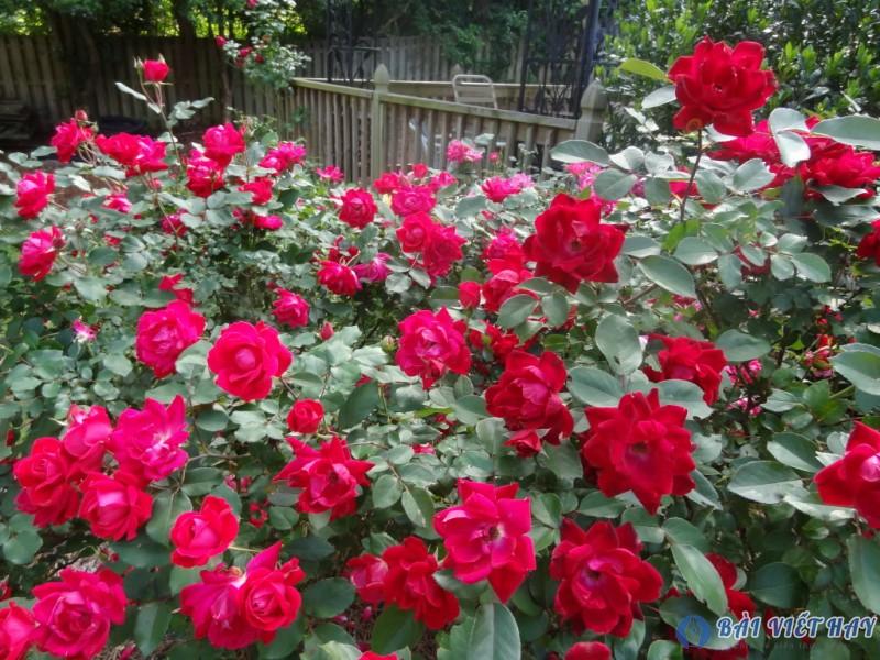top 10 bai van mau ta cay hoa hong moi nhat 1 - Top 10 bài văn mẫu tả cây hoa hồng mới nhất