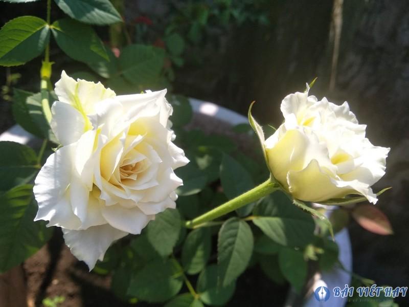 top 10 bai van mau ta cay hoa hong moi nhat 3 - Top 10 bài văn mẫu tả cây hoa hồng mới nhất