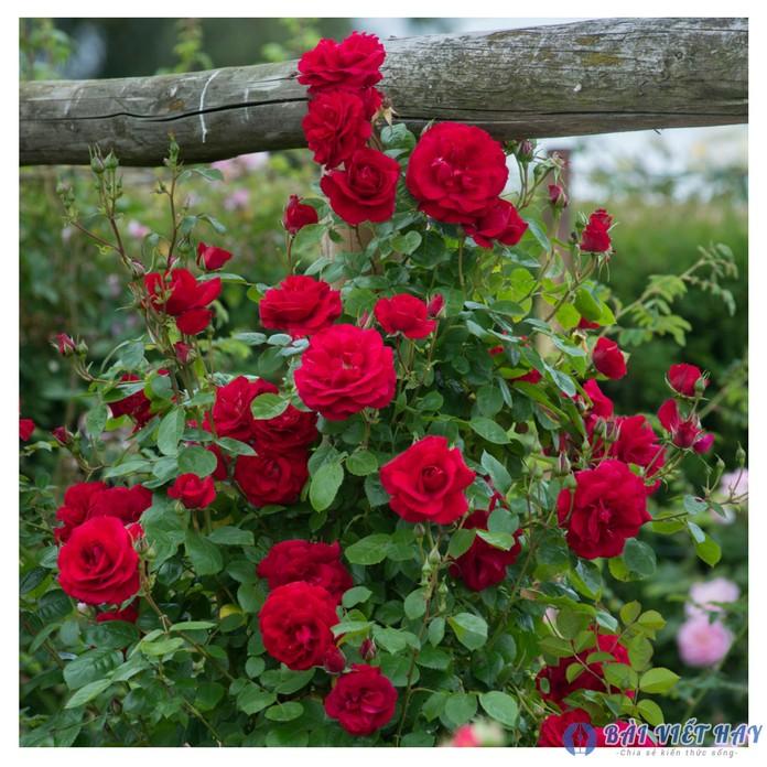 top 10 bai van mau ta cay hoa hong moi nhat 5 - Top 10 bài văn mẫu tả cây hoa hồng mới nhất