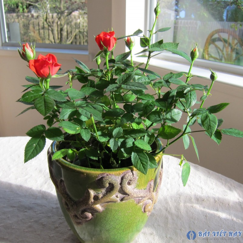top 10 bai van mau ta cay hoa hong moi nhat 6 - Top 10 bài văn mẫu tả cây hoa hồng mới nhất