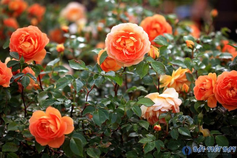 top 10 bai van mau ta cay hoa hong moi nhat 7 - Top 10 bài văn mẫu tả cây hoa hồng mới nhất