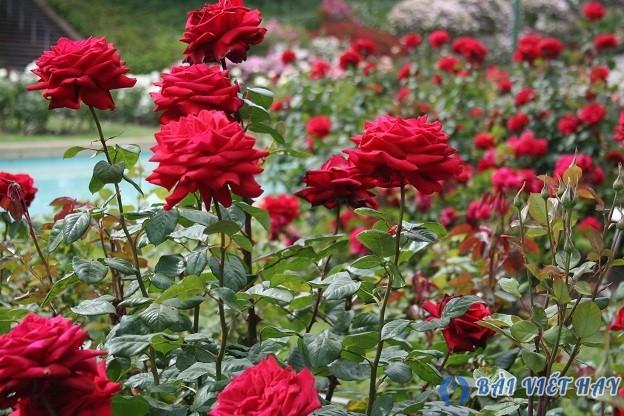 top 10 bai van mau ta cay hoa hong moi nhat 8 - Top 10 bài văn mẫu tả cây hoa hồng mới nhất