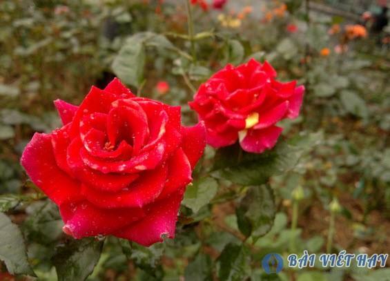 top 10 bai van mau ta cay hoa hong moi nhat - Top 10 bài văn mẫu tả cây hoa hồng mới nhất