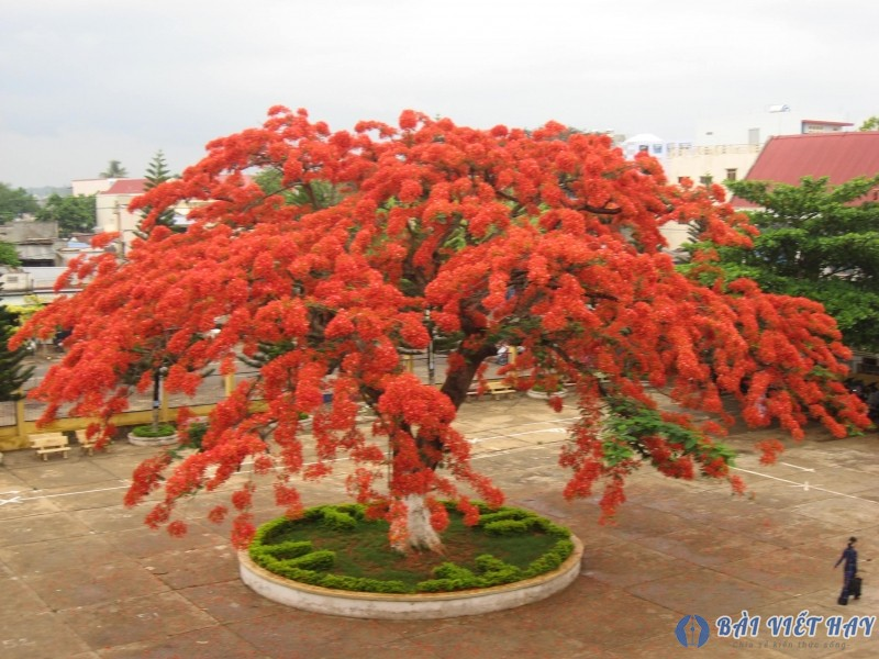 top 10 bai van mau ta cay phuong vi dat diem cao moi nhat 1 - Top 10 bài văn mẫu tả cây phượng vĩ đạt điểm cao mới nhất