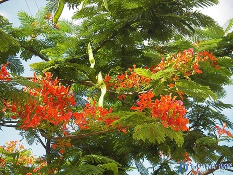 top 10 bai van mau ta cay phuong vi dat diem cao moi nhat 4 - Top 10 bài văn mẫu tả cây phượng vĩ đạt điểm cao mới nhất