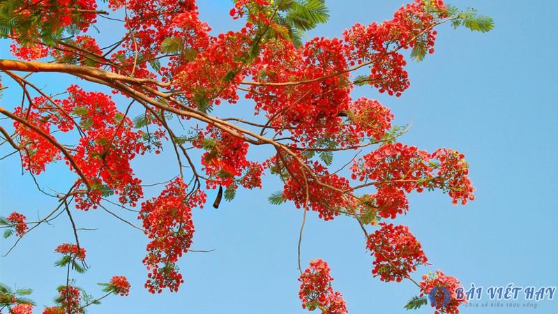 top 10 bai van mau ta cay phuong vi dat diem cao moi nhat 6 - Top 10 bài văn mẫu tả cây phượng vĩ đạt điểm cao mới nhất