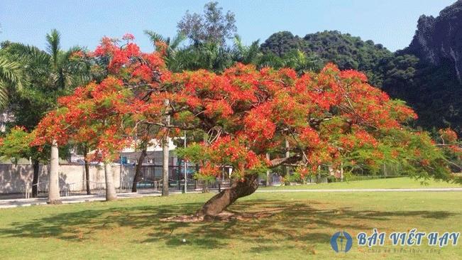 top 10 bai van mau ta cay phuong vi dat diem cao moi nhat 7 - Top 10 bài văn mẫu tả cây phượng vĩ đạt điểm cao mới nhất
