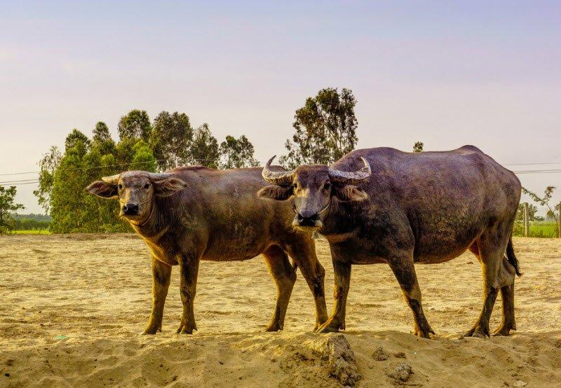trau - Tả con trâu lớp 4 hay nhất - 3 bài văn miêu tả con trâu làng quê Việt Nam ngắn gọn