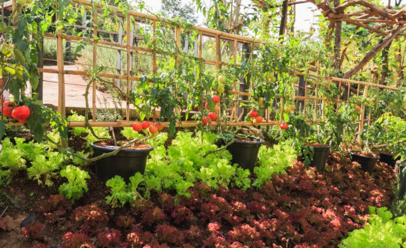 vuon rau nha em 1 - Tả vườn rau nhà em lớp 5 hay nhất ngắn gọn, miểu tả vườn rau sạch
