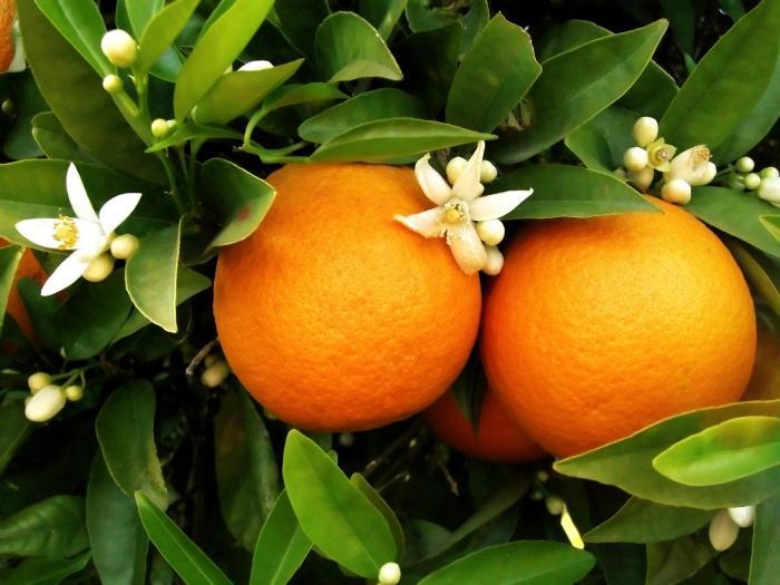 top 10 bai van mau ta cay cam hay nhat 8 - Top 10 bài văn mẫu tả cây cam hay nhất