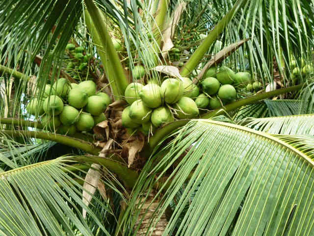 top 10 bai van mau ta cay dua que em 1 - Top 10 bài văn mẫu tả cây dừa quê em