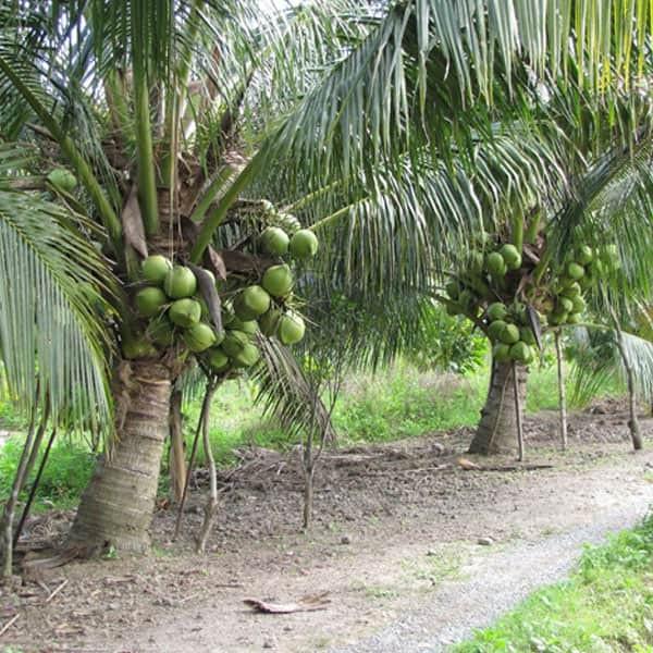 top 10 bai van mau ta cay dua que em 2 - Top 10 bài văn mẫu tả cây dừa quê em