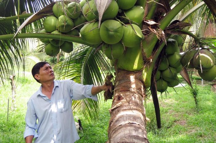top 10 bai van mau ta cay dua que em 3 - Top 10 bài văn mẫu tả cây dừa quê em