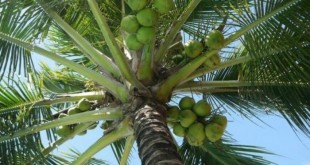 top 10 bai van mau ta cay dua que em 310x165 - Top 10 bài văn mẫu tả cây dừa quê em