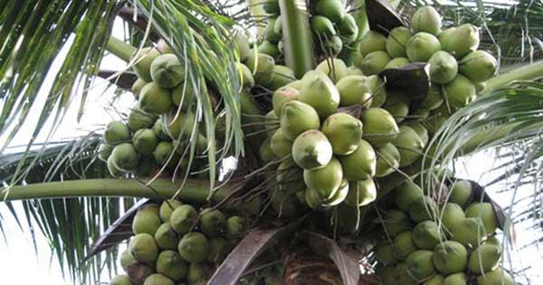 top 10 bai van mau ta cay dua que em 4 - Top 10 bài văn mẫu tả cây dừa quê em