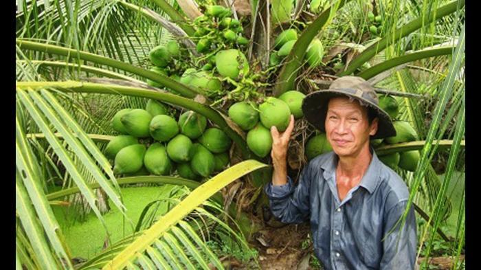 top 10 bai van mau ta cay dua que em 5 - Top 10 bài văn mẫu tả cây dừa quê em