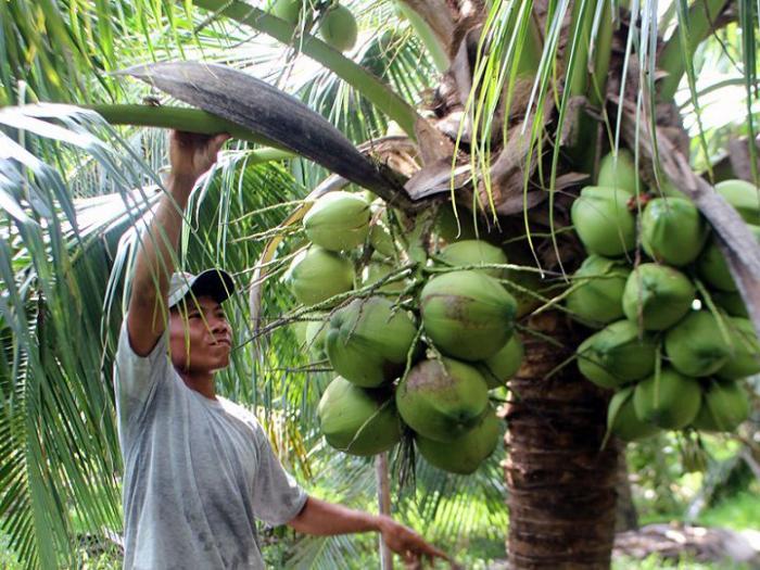 top 10 bai van mau ta cay dua que em 6 - Top 10 bài văn mẫu tả cây dừa quê em