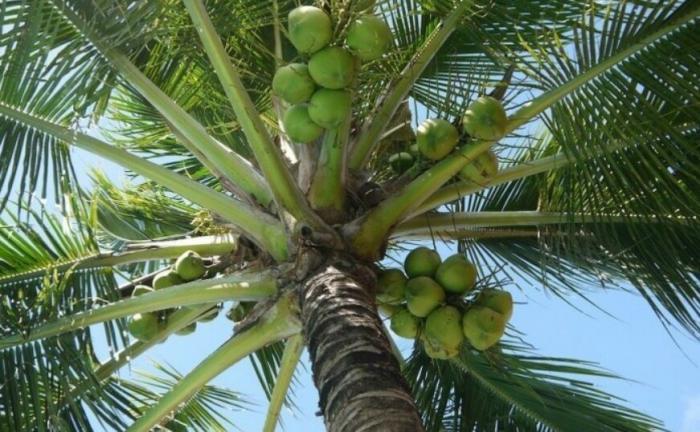 top 10 bai van mau ta cay dua que em - Top 10 bài văn mẫu tả cây dừa quê em