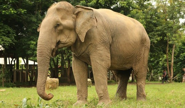 top 10 bai van mau ta con voi hay nhat 2 - Top 10 bài văn mẫu tả con voi hay nhất