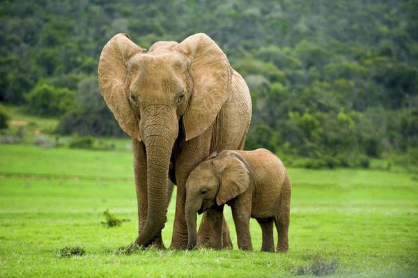 top 10 bai van mau ta con voi hay nhat 4 - Top 10 bài văn mẫu tả con voi hay nhất