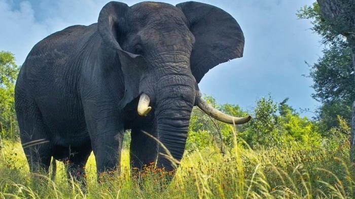 top 10 bai van mau ta con voi hay nhat - Top 10 bài văn mẫu tả con voi hay nhất