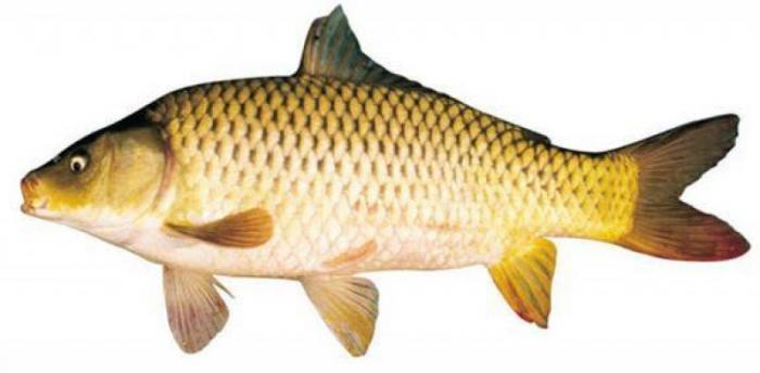 top 10 loai ca giup con thong minh cac me can quan tam 1 - Top 10 loại cá giúp con thông minh các mẹ cần quan tâm