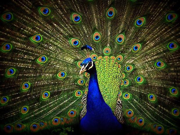 top 10 loai chim dep nhat the gioi 6 - Top 10 loài chim đẹp nhất thế giới